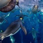 Manchots empereurs vus sous l'eau. Paul Nicklen : Bubble jetting emperors.