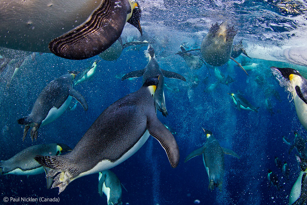 Manchots empereurs vus sous l'eau. Paul Nicklen : Bubble jetting emperors.