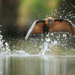 Une chauve souris boit de l'eau en volant. Ofer Levy : Fly by drinking.