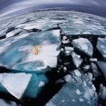 Un ours polaire perdu sur la banquise qui fond. Anna Henly : Ice matters.