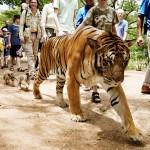 Touristes avec des tigres en Malaisie. Melisa Lee : The tourist tiger trail.