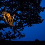 Lion sur son arbre éclairé par un spot dans la nuit. Joel Sartore : Lion in the spotlight.