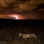 Lionne éclairée par un ciel orageux. Hannes Lochner : Lion by lightning.