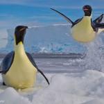 Des pingouins sautent sur la banquise. Paul Nicklen : Frozen moment.