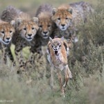 Gazelle poursuivie par 4 jeunes guépards. Grégoire Bouguereau : Practice run.
