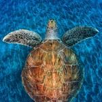 Tortue de mer. Jordi Chias : Turtle gem.