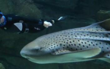 pierre frolla plonge en apnée avec 25 requins à l'aquarium de paris le 12 novembre 2012