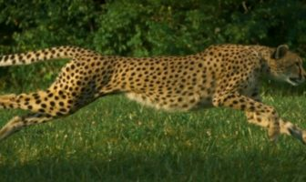 Record du monde de course de guépard en SlowMotion [Cheetahs on the Edge]