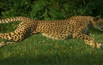 Record du monde de course de guépard en SlowMotion [Cheetahs on the Edge]
