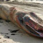 baleine-rorqual-cetace-echoue-plage-sables-olonne-vendee-01
