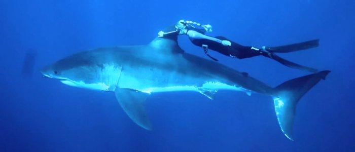 L'apnéiste blonde Ocean Ramsey nage en apnee avec un grand requin blanc de 5 mètres. GoPro.