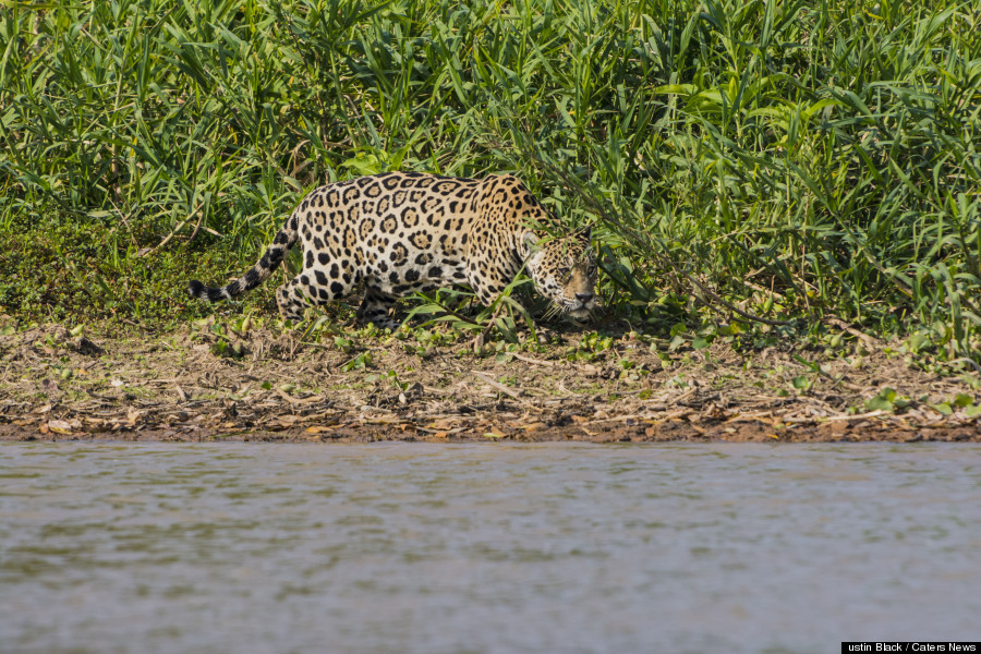 Un jaguar attaque un caïman au Brésil. Photo par JUSTIN BLACK / CATERS NEWS.