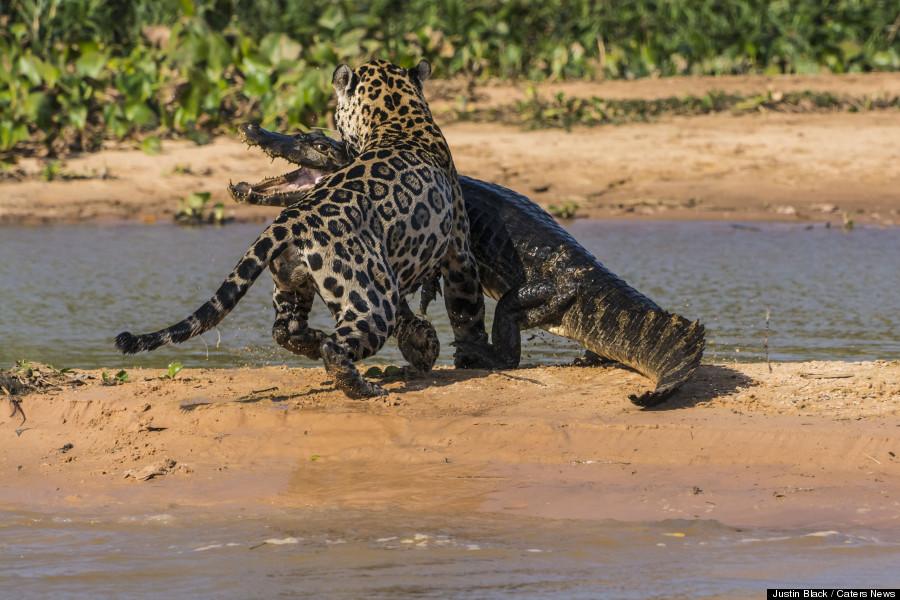 Un jaguar attaque un caïman au Brésil. Photo par JUSTIN BLACK / CATERS NEWS.
