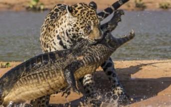 Un jaguar attaque un caïman au Brésil [Photos + vidéo insolites]