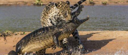 jaguar-attaque-cayman-bresil