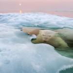 le grand prix photo nature pour cet ours polaire qui se réfléchit dans la glace