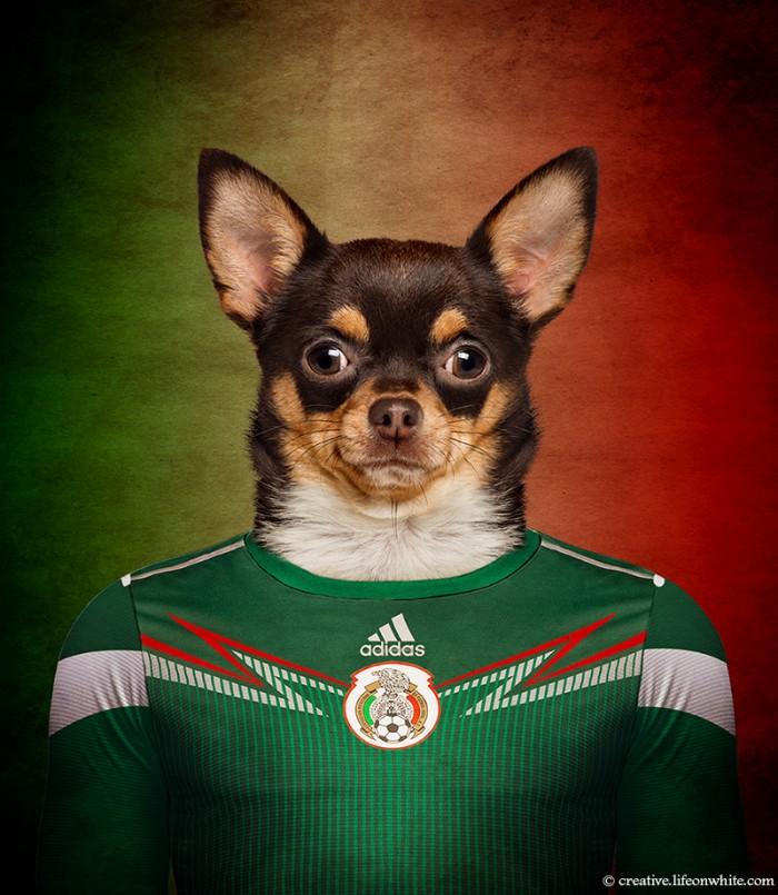 chien en maillot de foot cm2014 : Mexique Chihuahua