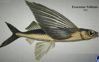 Incroyable : des poissons volants au large des côtes françaises !