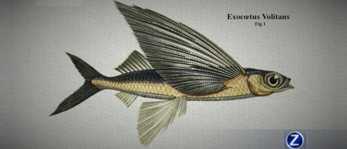 Poisson volant : Exocœtus volitans