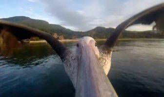 Le vol d'un pélican filmé par une gopro