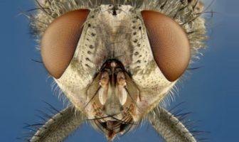 nikon small world photo au microcscope mouche fly