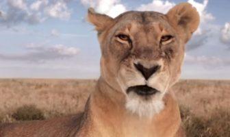 la lionne canalsat