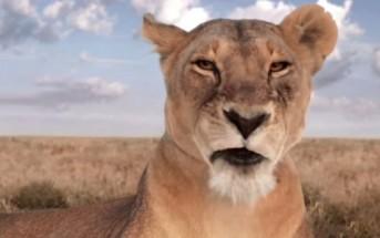 Une lionne vous présente les programmes de canalsat