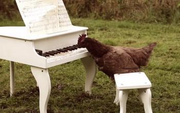 une poule joue du piano