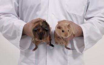 L'examen des couilles expliqué avec des cochons d'Inde