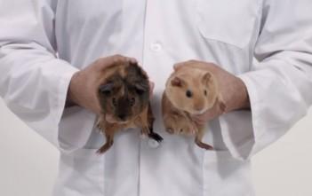 pub cancer destesticules : l'examen des couille avec des cochon d'inde