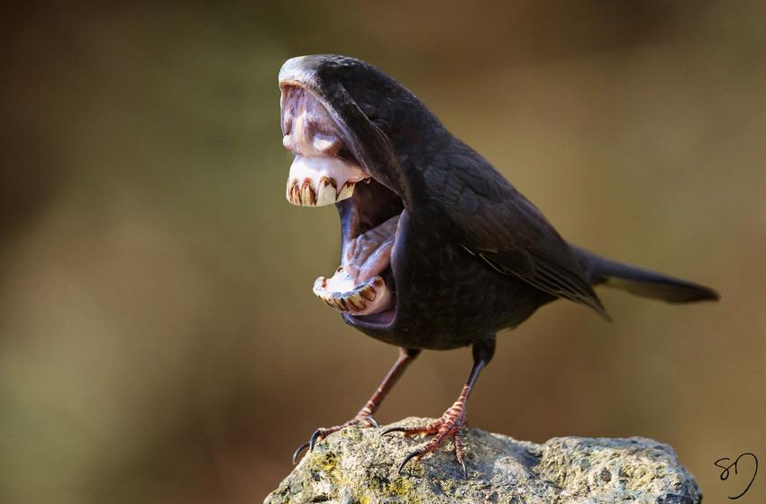 big-mouth-birds-oiseau-bouche-dents-sarah-deremer-02