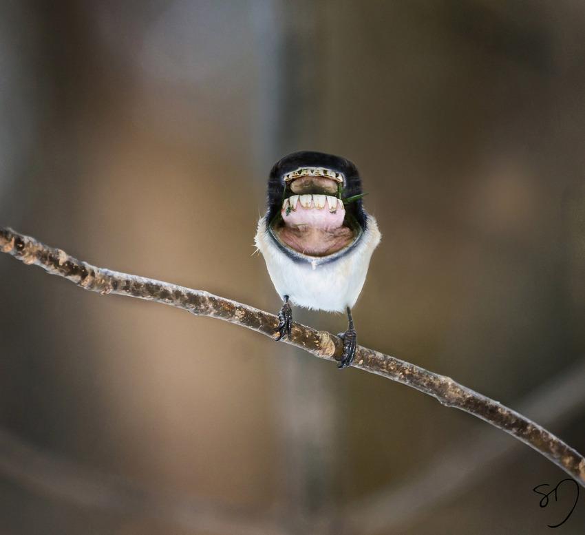 big-mouth-birds-oiseau-bouche-dents-sarah-deremer-05