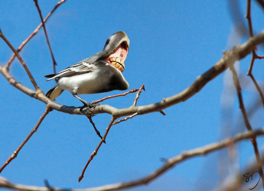 big-mouth-birds-oiseau-bouche-dents-sarah-deremer-12