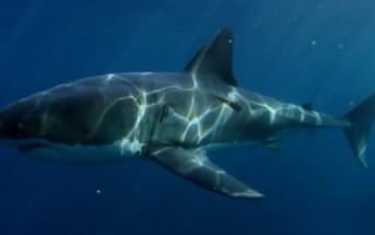 Le requin n'est pas le plus grand prédateur des océans, la preuve…