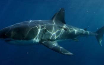 grand requin blanc predateur ocean