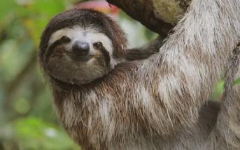 """Un paresseux du Costa Rica chante sur l'air de """"Le lion est mort ce soir"""""""