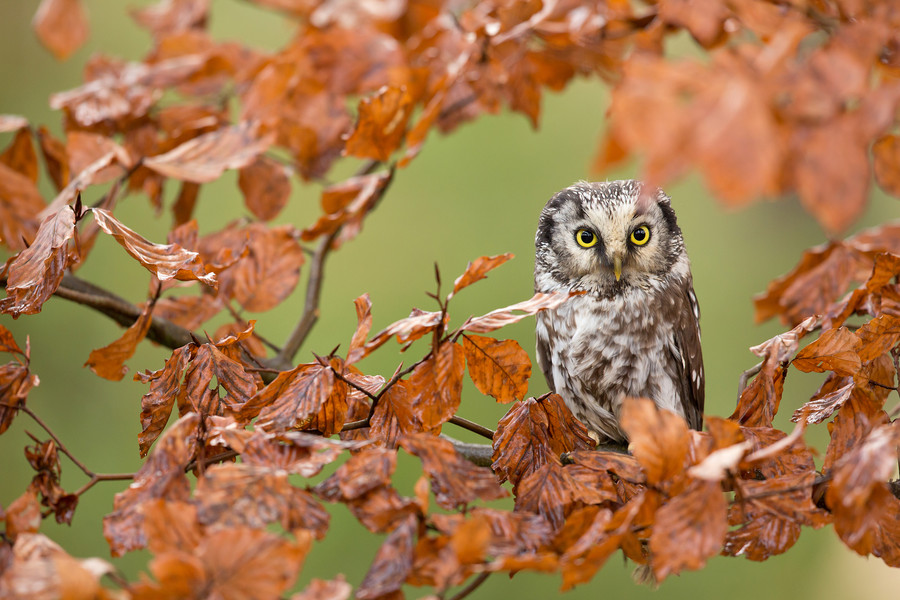 Tengmalm´s Owl by Milan Zygmunt on 500px