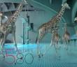 5 mètres 80 par Nicolas Deveaux avec des girafes à la piscine