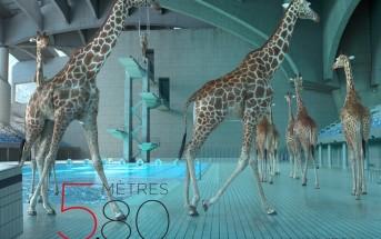 5 mètres 80 : des girafes font du plongeon acrobatique à la piscine
