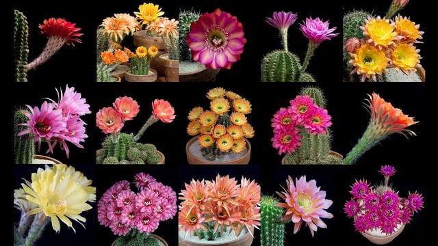 vid o l 39 l gante closion de fleurs de cactus en acc l r. Black Bedroom Furniture Sets. Home Design Ideas