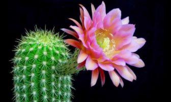 eclosion d'une fleur de cactus echinopsis