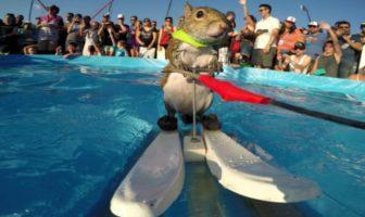 twiggy, l'écureuil qui fait du ski nautique