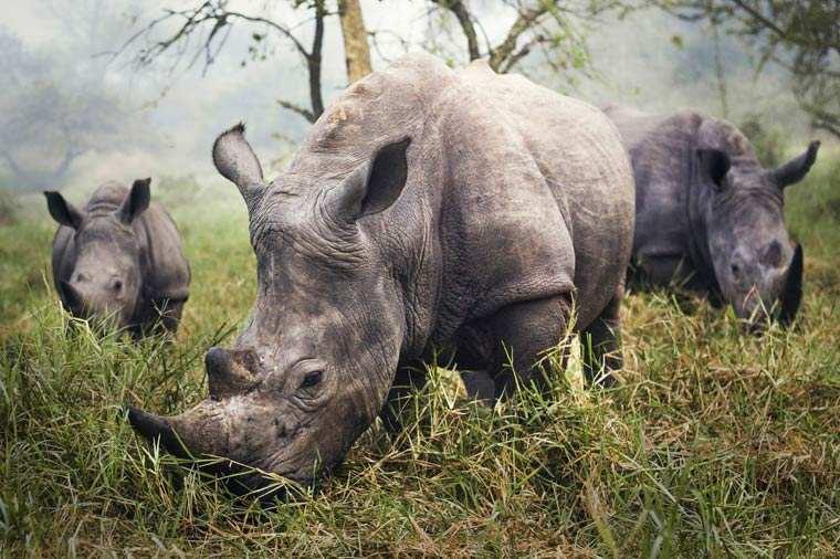 White Rhinos - Stefane Berube