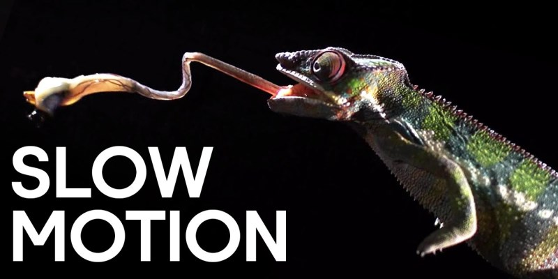 attaque d'un caméléon en slow-motion