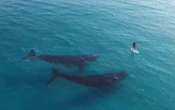 surf paddle avec 2 baleines en australie