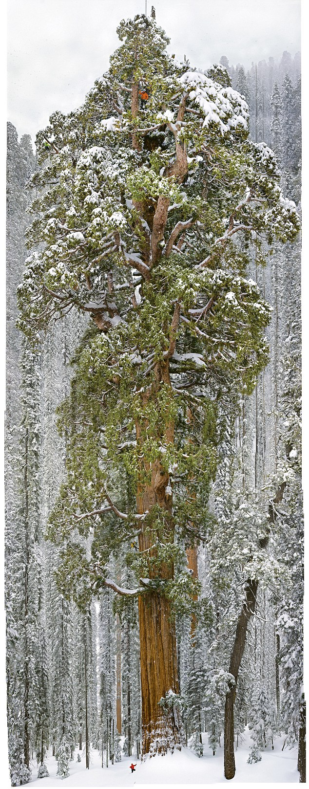 """Le """"président"""" : le plus grand arbre / sequoia du monde"""
