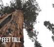 the president : un sequoia vieux de 3200 ans