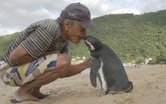 Un pingouin nage 8000kmchaque année pour rendre visite à l'hommequi lui a sauvé la vie