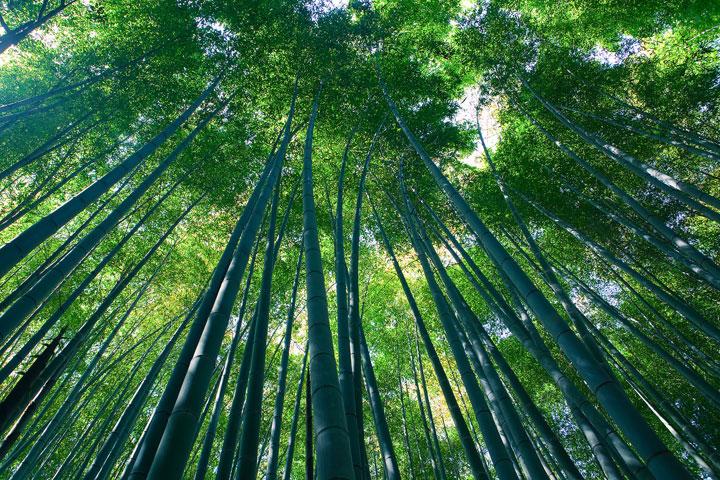 La forêt de bambou de Kyoto, Japon