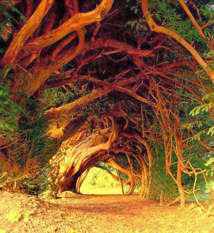 Un if vieux de 1000 ans, Pays de Galles